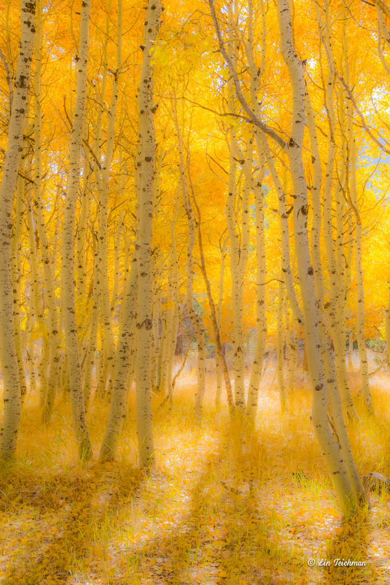 A forest of aspen trees glows golden with the trees' yellow leaves and the gold-green underbrush below