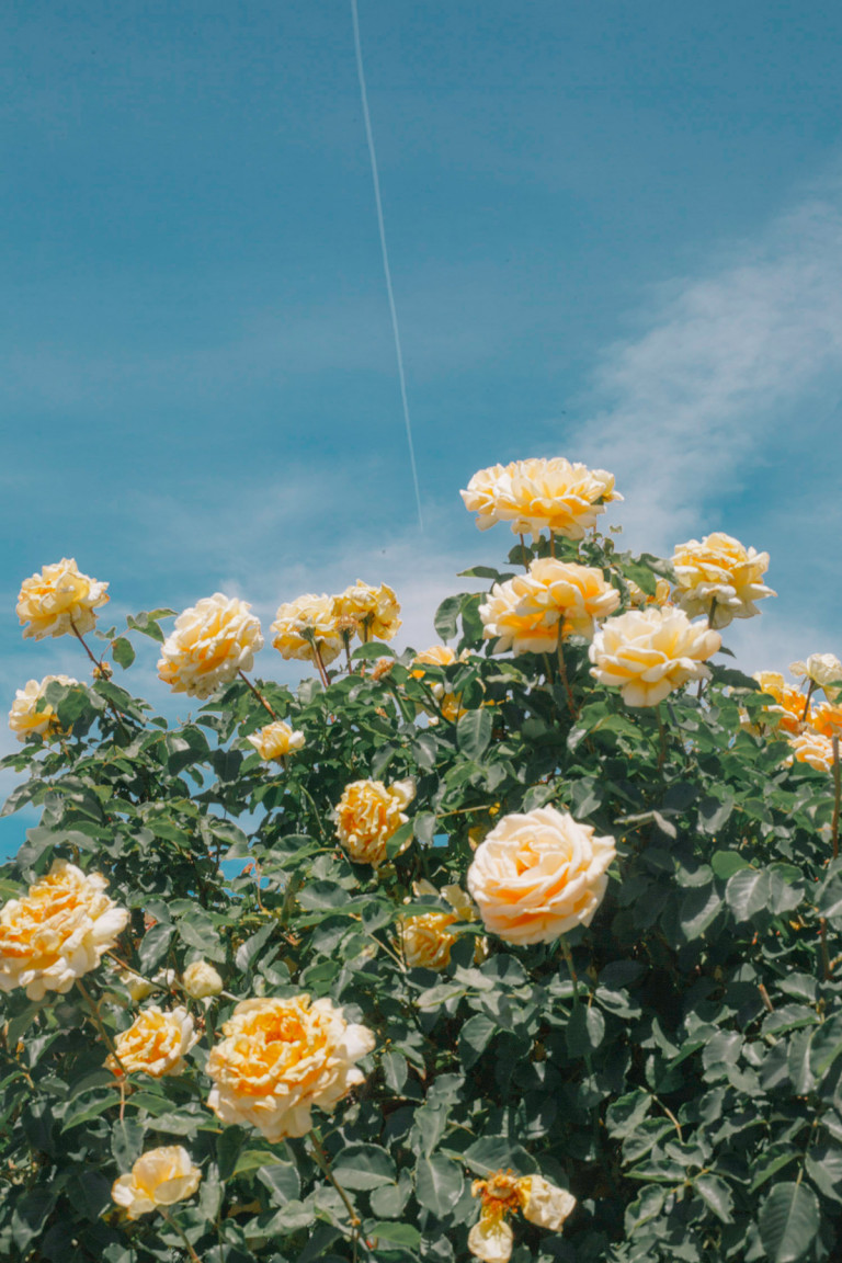 picture of a bush with yellow roses